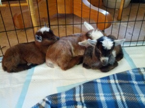 The kids I'm currently bottle feeding while they were still house goats.